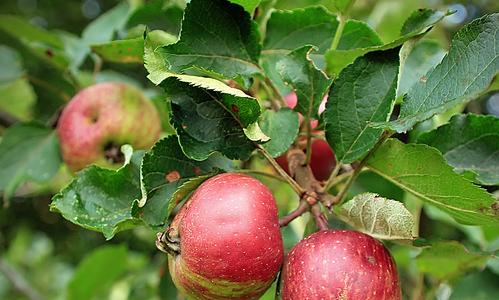 Actie fruitbomen